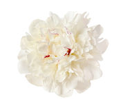 The gentle white peony Stock Photo