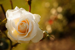 Gentle white rose Stock Photography