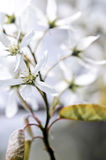 Gentle white spring flowers Royalty Free Stock Images