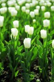 Gentle white tulips royalty free stock photo