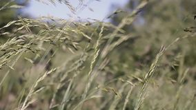Wind blowing sepia wheat. Gentle wind blows wild sepia wheat mid western ambient.   rual agriculture bread western Wind weht Sepia Weizen nature places field stock footage