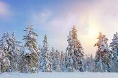 Gentle Winter Sundown - northern snowy forest landscape Stock Photos