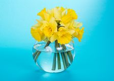 Gentle yellow narcissuses in a glass vase royalty free stock image