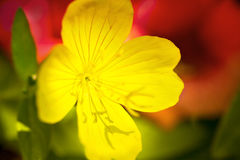 Gentle yellow primrose flower Stock Image