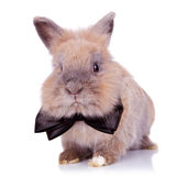 Gentleman bunny. Picture of of an adorable gentleman bunny looking at the camera, on white background Royalty Free Stock Photography