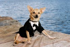 Gentleman Chihuahua Royalty Free Stock Images