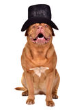 Gentleman dog wearing black hat Stock Photo