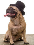 Gentleman Pug Portrait royalty free stock photography