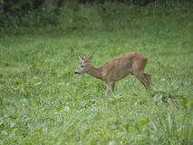 The deer breakfast. stock image