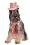 Gentlemen dog with hat and tie. Isolated stock photography