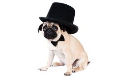Gentlemen pug dog wearing hat. On white background stock image
