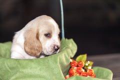 Gently Basset hound puppy Royalty Free Stock Image