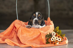 Gently Basset hound puppy Royalty Free Stock Photography