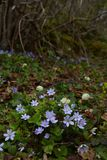 Gently blue flowers in the shade of shrubs. Small field underneath the mountain with gentle blue flowers in the shade of the bushes. dominated by green and light royalty free stock images