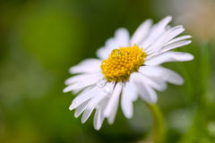 Gently daisy with shallow depth of field. Gently daisy on meadow with drop on it royalty free stock photo