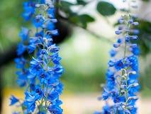 Gently delphinium oblongifolius Stock Photography