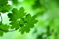 A gently focused photograph of the foliage of trees Royalty Free Stock Photos