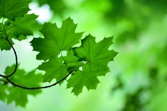 A gently focused photograph of the foliage of trees Royalty Free Stock Images