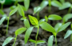 Gently green, young seedlings of sweet pepper stock photo
