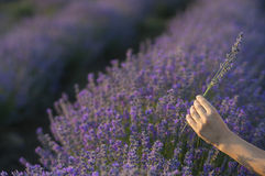 Gently holding lavender Stock Photography