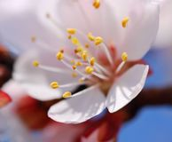flowering apricot in the spring royalty free stock image