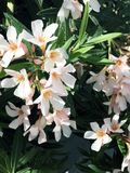 Gently pink flowers of oleander Nerium closeup. stock images