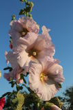 Gently pink hollyhock 1. On branches I was dismissed three flowers of a hollyhock Stock Images