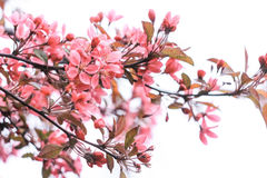 Gently pink inflorescence of sakura. On a white background Stock Photos