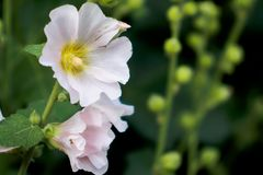 Gently pink mallow flower. In early summer Stock Photography