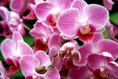 Gently pink orchid Royalty Free Stock Photography