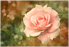 Gently pink. Pink rose in my garden Stock Photo