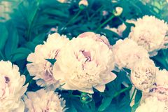 Gently pink royal flowers - peonies in the garden. royalty free stock images