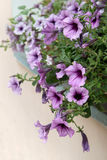 Gently purple petunia flowers hanging from window Stock Images