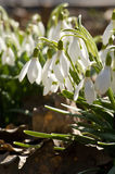 Gently snowdrop Royalty Free Stock Images
