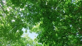 Looking upward through vibrant tree canopy leaves swaying in the breeze while gently spinning with the sun through the leaves. Gently spinning looking upward stock footage