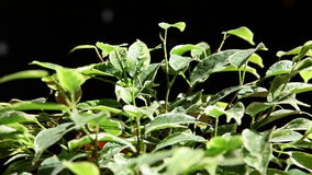 Gently spraying green plant with fresh water drops stock footage