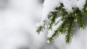 Gently swaying snow-covered fir branch, icy snowfall. stock video footage