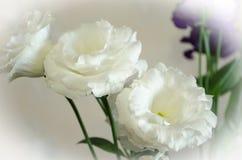 Gently white flowers of eustoma in peak flowering stock image