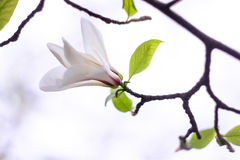 Gently white magnolia flower. On a white background Royalty Free Stock Photography