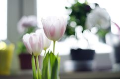 Gently white pink three tulips on light background with pots stock photos
