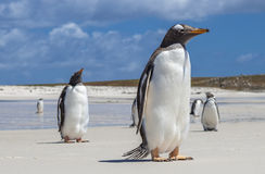 Gento在福克兰群岛的企鹅特写镜头 免版税图库摄影