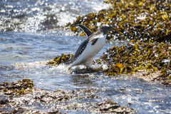 Gento Penguin in action when it comes out of the water Royalty Free Stock Image