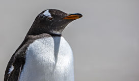 Gento Penguin Close-Up Royalty Free Stock Images