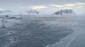 Gentoo企鹅小组游泳南极州急性冰 股票录像
