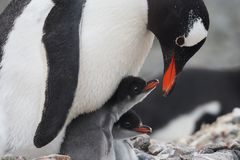 Gentoo企鹅和两只小鸡 库存图片