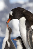 Gentoo企鹅和小鸡在哺养期间 免版税库存图片