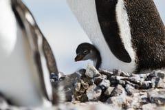 Gentoo企鹅和小鸡 免版税图库摄影