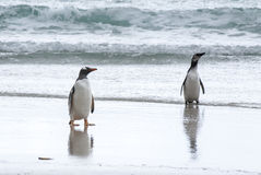 Gentoo企鹅和麦哲伦企鹅在海滩 免版税图库摄影