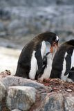 Gentoo企鹅哺养的小鸡在南极洲 库存图片