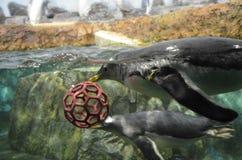 Gentoo企鹅在动物园里 库存图片